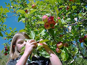 autumn picking apples in the indian summer